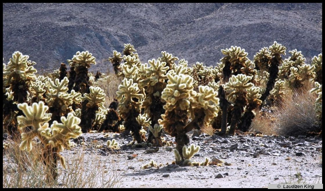 Cholla Cactus = Joshua Tree